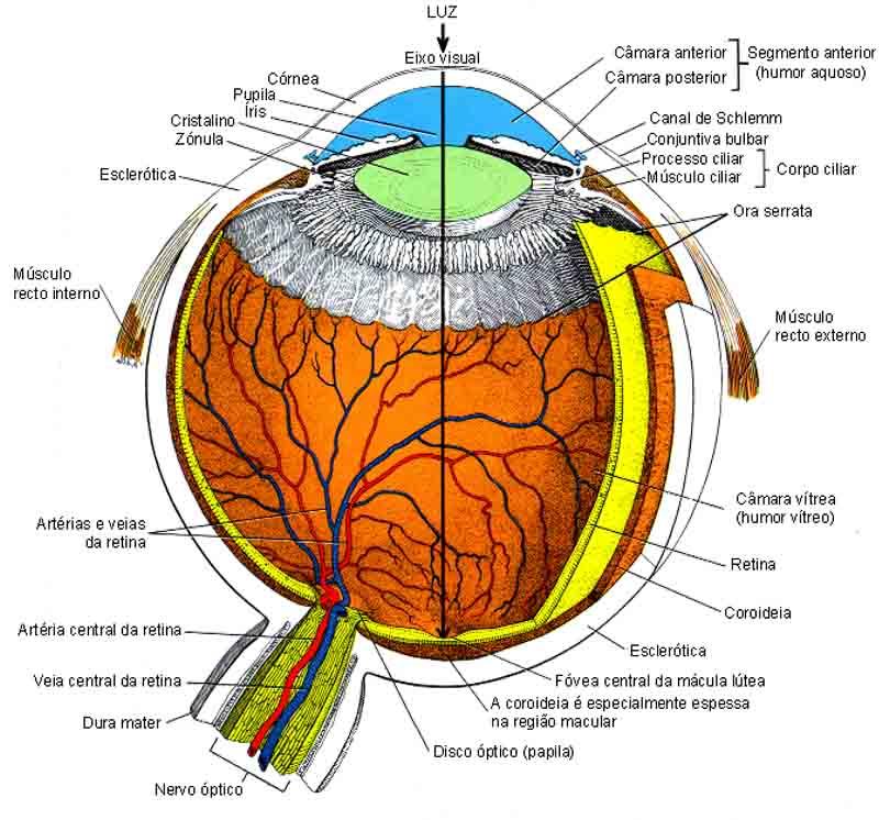 Anatomia e Fisiologia do globo ocular | www.GOOO.PT
