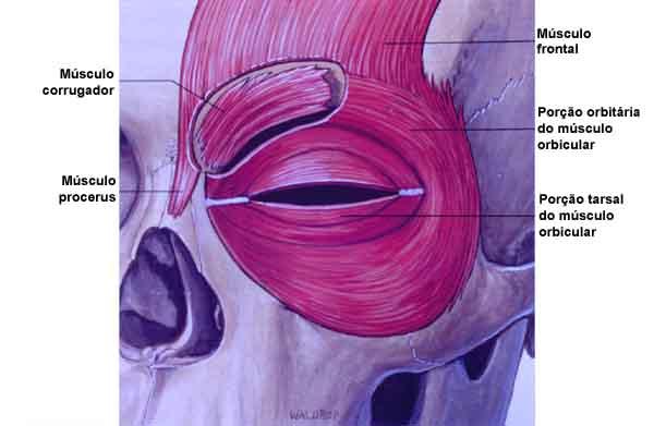 Anatomia das pálpebras